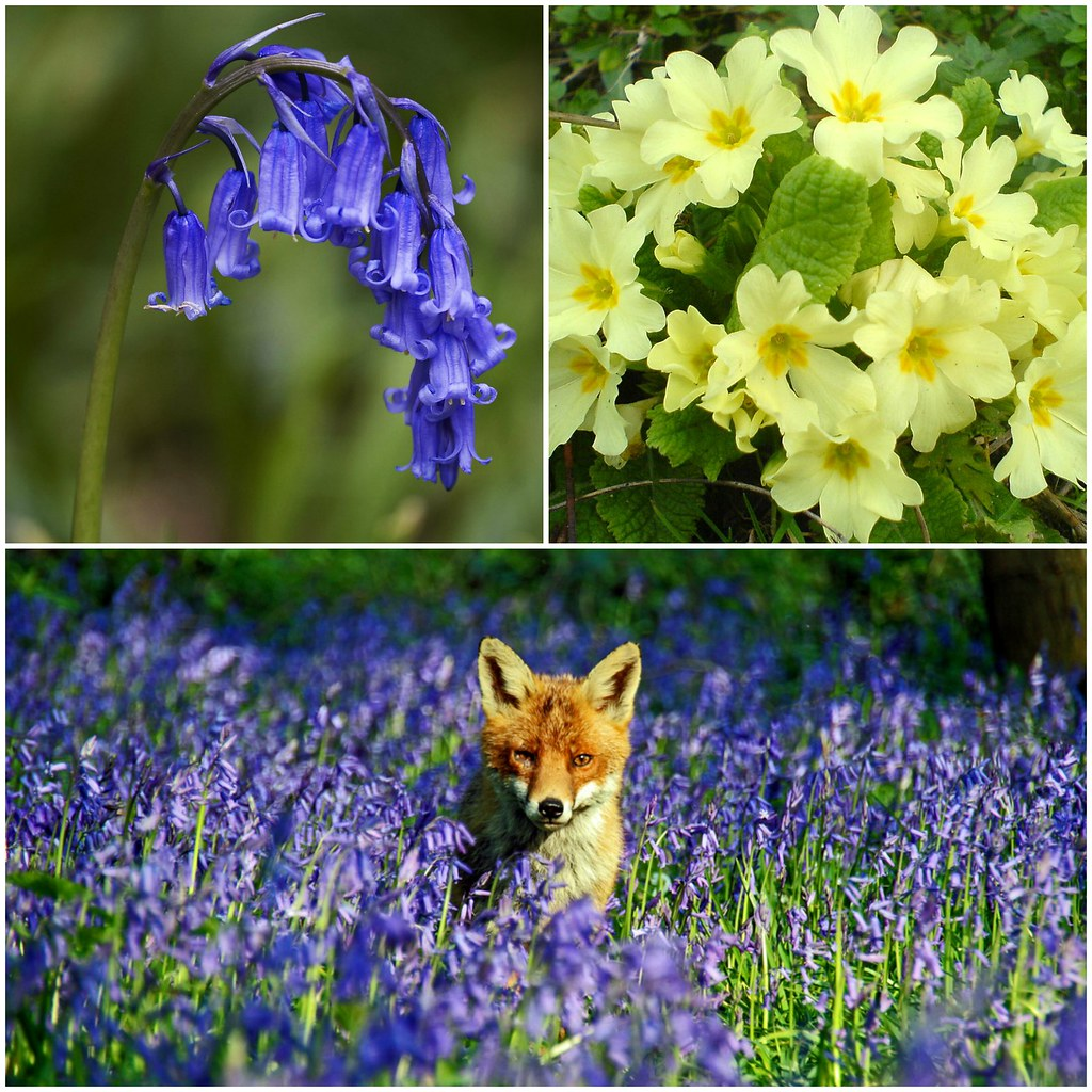 9 Fascinating Facts About Bluebells Englands Favorite Wild Flower