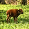 Baby & mom bison in the EBP