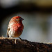 House Finch by jwfuqua-photography