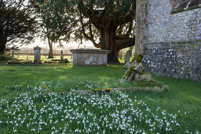 Snowdrops & Yew, Chilfrome