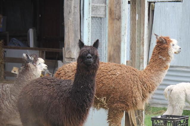 IMG 1132 Anton's Alpaca's