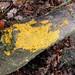 Yellow Slime Mould Plasmodium