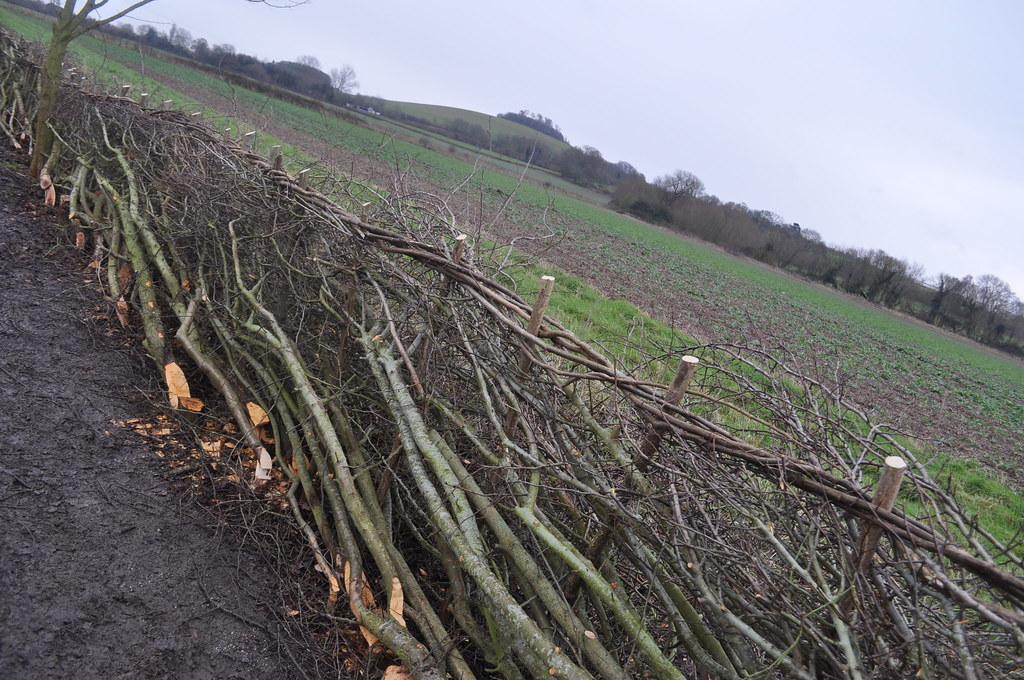 Hedgelaying Little Littenham