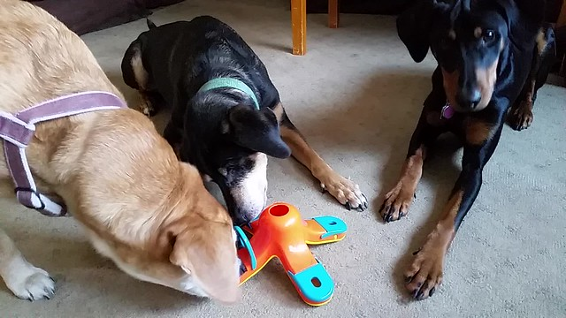 Tetul, Sophie & Penny Playing with Kibble Drop #LapdogCreations