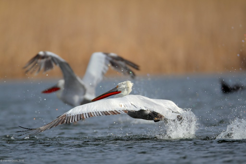 _Pelican cret pe canal 2