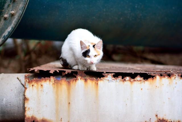 錆びた鉄板の上で身構えるネコの写真