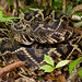 Eastern Diamondback Rattlesnake by Nick Scobel