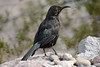 Curve-billed Thrasher, melanistic