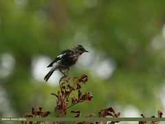 Pied Bush Chat (Saxicola caprata)