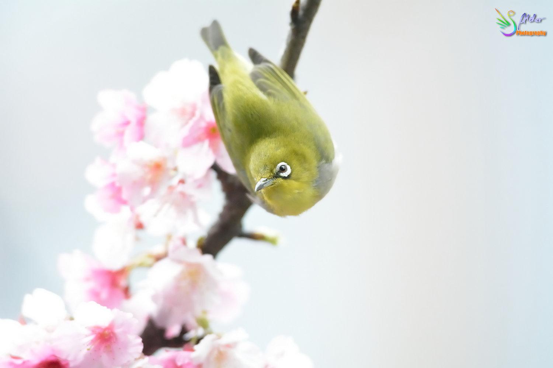 Sakura_White-eye_7423