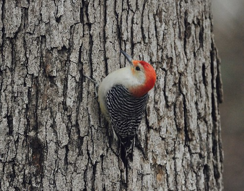 bird woodpecker redbellied