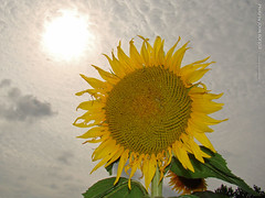 Sun and Sunflower at Grinter Farms, 8 Sept 2015