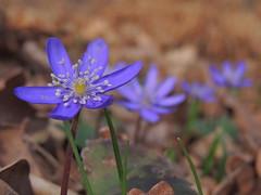 Anemone transsilvanica