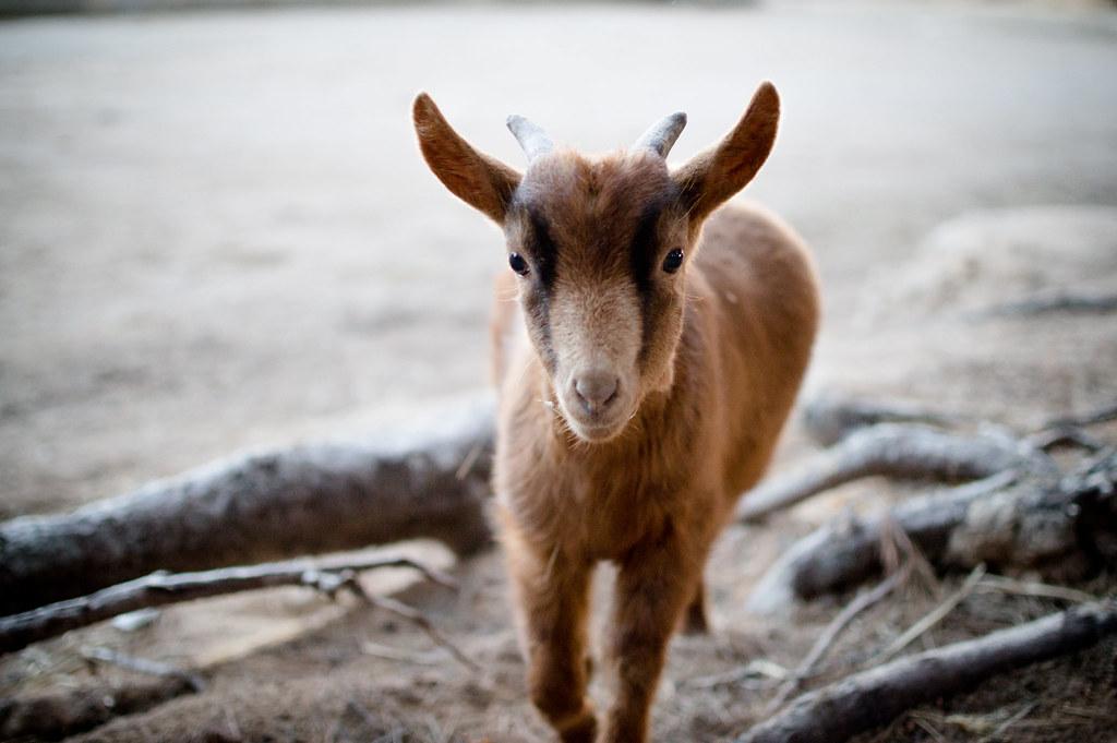 The brave little goat