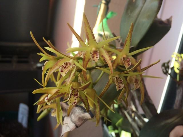Dendrobium speciosum x tetragonum 25641348512_61edbfb5a4_z