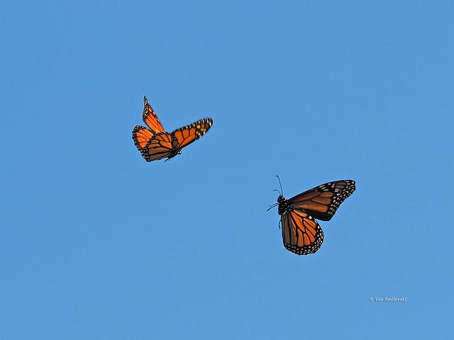 Monarch Butterflies in a tango