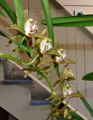 Cymbidium schroederi species orchid 3-16