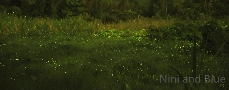 南投草湳濕地螢火蟲04