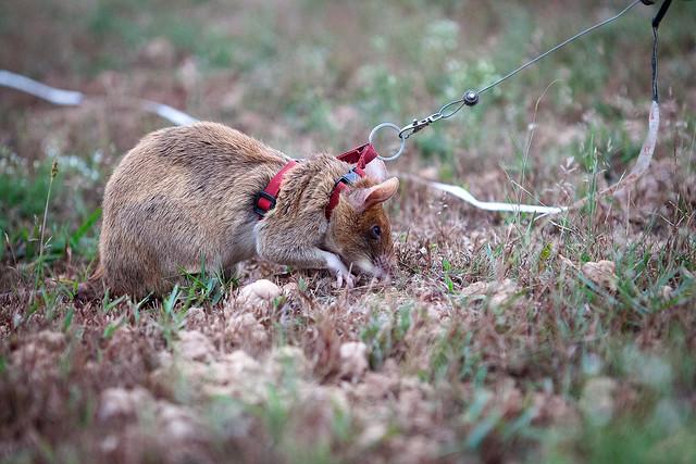 APOPO hero rats