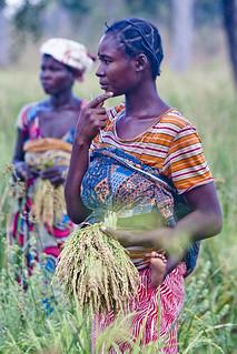 Smallholder Rice