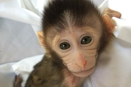 Macaco modificado genéticamente para mostrar signos de autismo