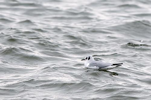 Adult Bonaparte's Gull