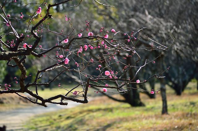 ウメ Plum blossom