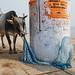 Cow and Saree - Varanasi, India by Maciej Dakowicz