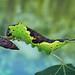Poplar kitten caterpillar by Franziska Bauer