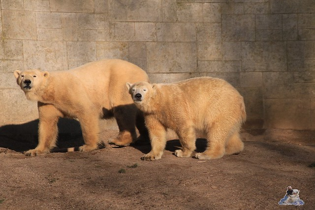 Eisbär Fiete im Zoo Rostock 06.02.2016  0166