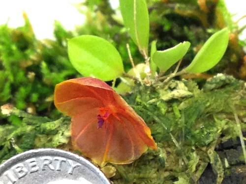 Lepanthes telipogoniflora first bloom! With a dime for scale.