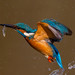 AW9H8376 - Kingfisher catch by asbimages.co.uk