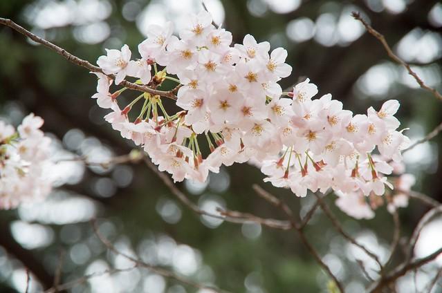 2016年4月2日お花見-2