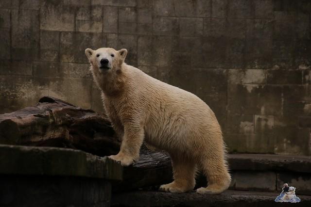 Eisbär Fiete im Zoo Rostock 13.03.2016 Teil 2  0152