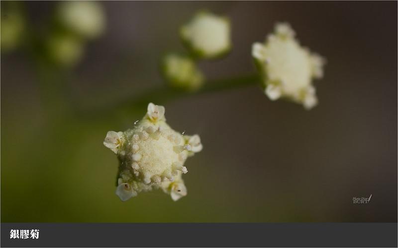 005銀膠菊