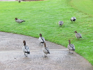 Ducks at King's Park