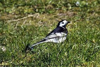 Garden birds DSCF7558