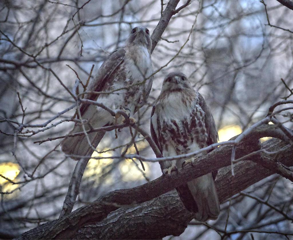 Chinatown hawks