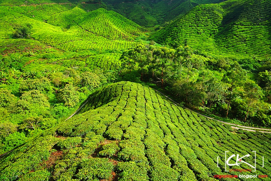 Cameron_Highlands_012