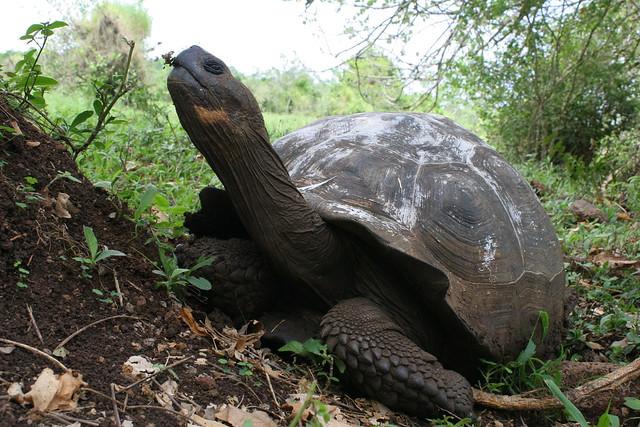 Galápagos-2016. Tortuga terrestre gigante