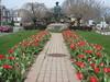Rockery Tulips