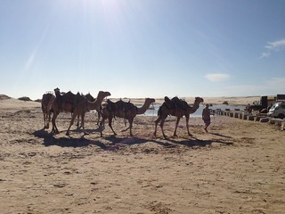 Image of Stockton Beach near Medowie. beach sand camel