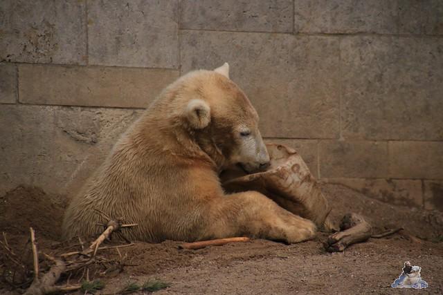 Eisbär Fiete im Zoo Rostock 06.02.2016  0227