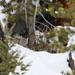 Yellowstone Bobcat by dhkaiser