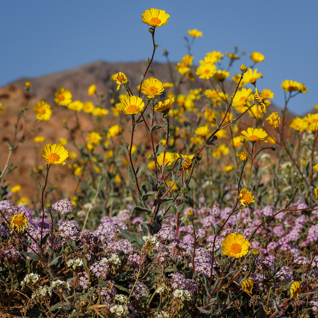 Desert Gold and Sand Verbena in Death Valley