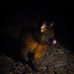 Strike a pose. Camp poss is a little too unafraid. #moultinglagoon #tasmania #possum #clawsinyourback