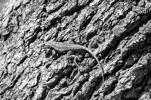 white black texas lizard spiny