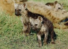 Two Hyena Pups