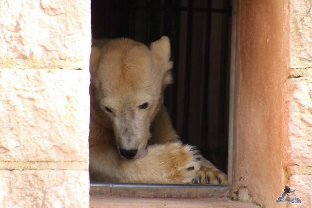 Eisbär Fiete im Zoo Rostock 16.04.2016  11