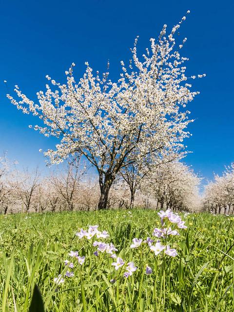 Kirschblüte_2016_038